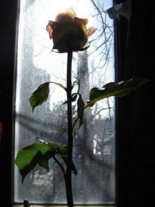 Роза, фото Кати Негрук