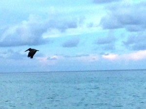Про пеликанов