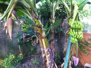 Про Дагомыс и банан