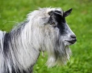 Лоухский козел