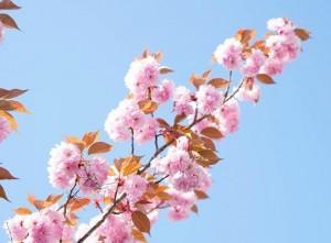 Когда цветет сакура и восходит солнце