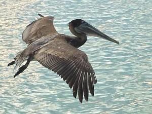 Утренний пеликан