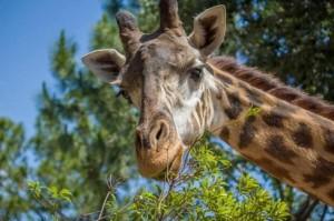 У каждого жирафа свой резон